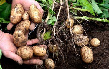1024x573px_potatoes