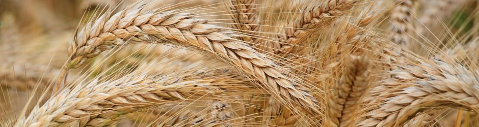 close-up-of-wheat-326082