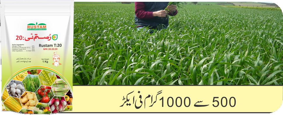 Wheat Rustam T20