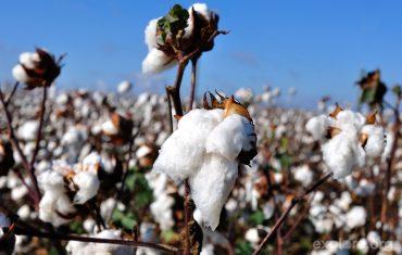 cotton-field-22